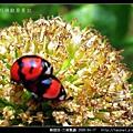 鞘翅目-六條瓢蟲_07.jpg