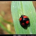 鞘翅目-六條瓢蟲_10.jpg