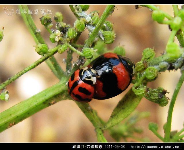 鞘翅目-六條瓢蟲_09.jpg