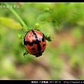 鞘翅目-六條瓢蟲_12.jpg