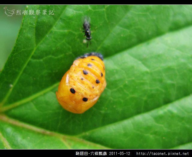 鞘翅目-六條瓢蟲_11.jpg