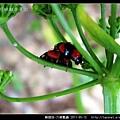 鞘翅目-六條瓢蟲_13.jpg