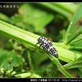 鞘翅目-六條瓢蟲_14.jpg