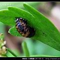 鞘翅目-六條瓢蟲_15.jpg