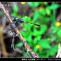蜻蛉目-杜松蜻蜓_01.jpg