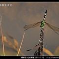 蜻蛉目-杜松蜻蜓_03.jpg