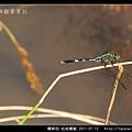 蜻蛉目-杜松蜻蜓_04.jpg