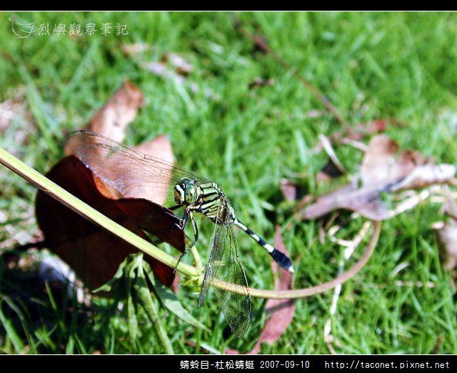 蜻蛉目-杜松蜻蜓_05.jpg