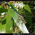 蜻蛉目-杜松蜻蜓_06.jpg