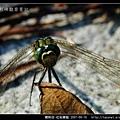 蜻蛉目-杜松蜻蜓_07.jpg