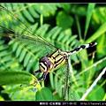 蜻蛉目-杜松蜻蜓_09.jpg