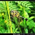 蜻蛉目-杜松蜻蜓_10.jpg