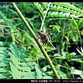 蜻蛉目-杜松蜻蜓_11.jpg