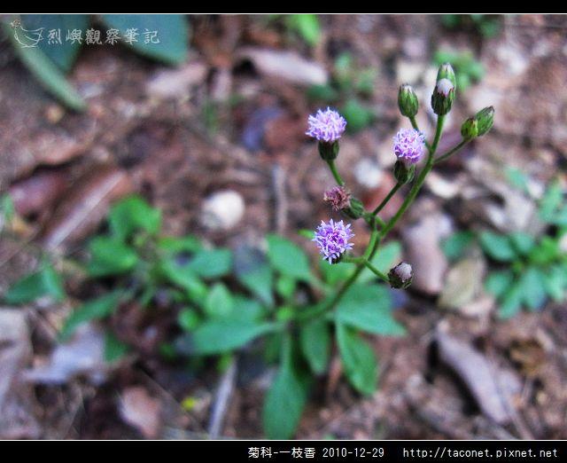 菊科-一枝香_02.jpg