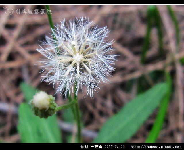 菊科-一枝香_05.jpg