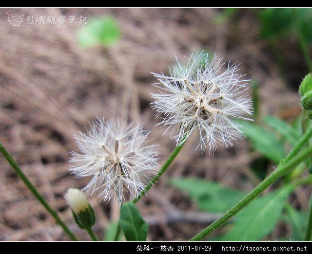 菊科-一枝香_07.jpg