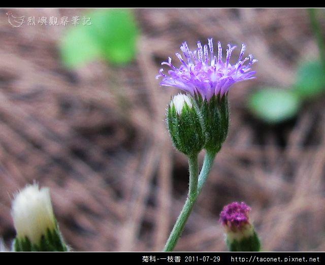 菊科-一枝香_08.jpg