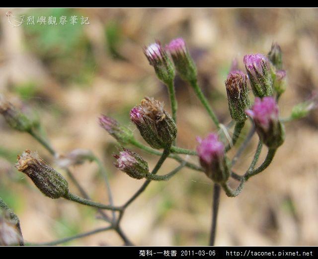 菊科-一枝香_09.jpg