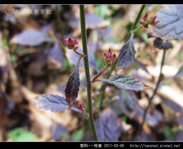 菊科-一枝香_12.jpg