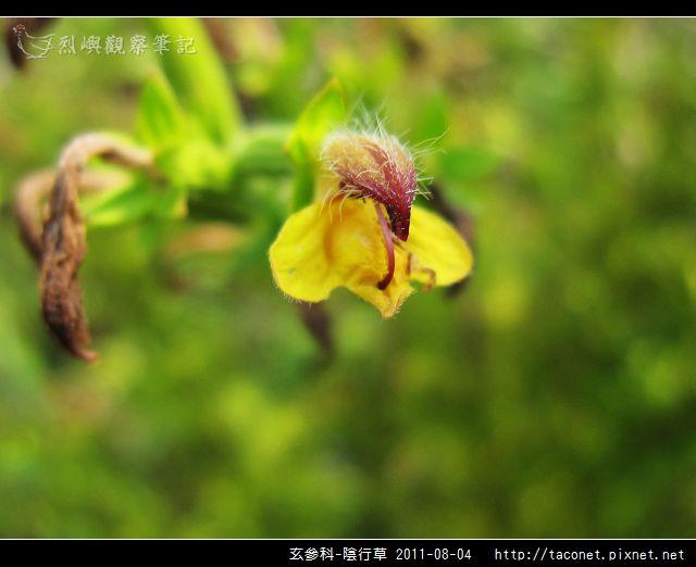 玄參科-陰行草_03.jpg
