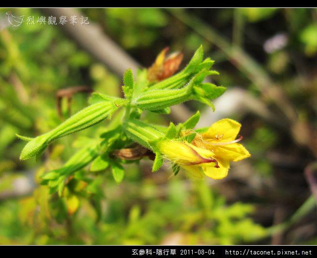 玄參科-陰行草_12.jpg