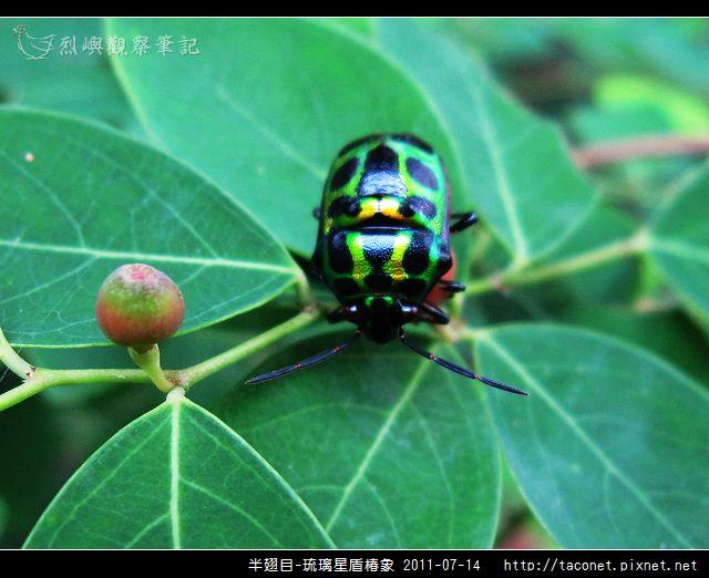 半翅目-琉璃星盾椿象_02.jpg