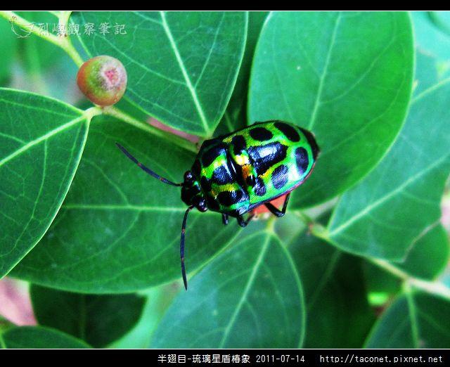 半翅目-琉璃星盾椿象_01.jpg