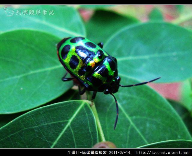 半翅目-琉璃星盾椿象_03.jpg