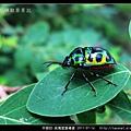 半翅目-琉璃星盾椿象_06.jpg