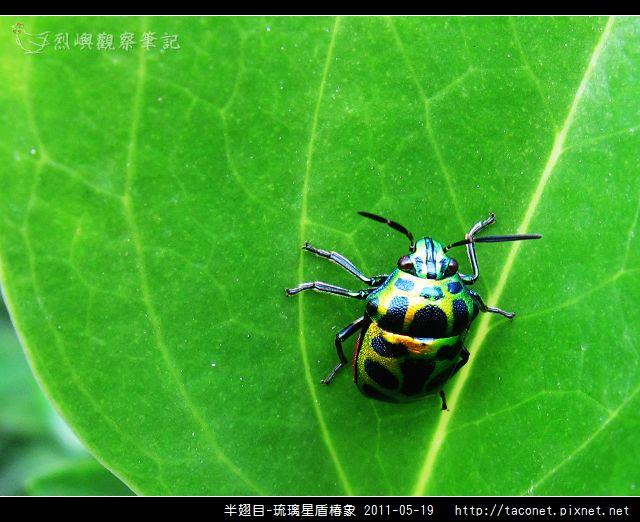 半翅目-琉璃星盾椿象_09.jpg
