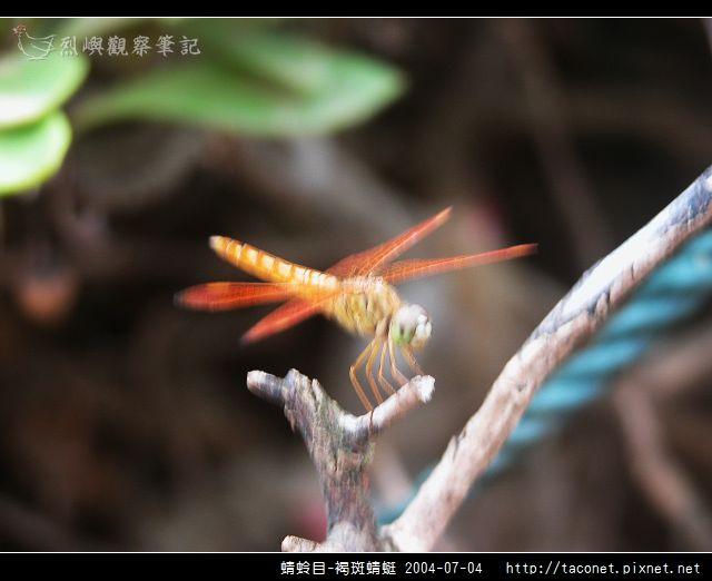 蜻蛉目-褐斑蜻蜓_01.jpg