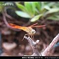 蜻蛉目-褐斑蜻蜓_02.jpg