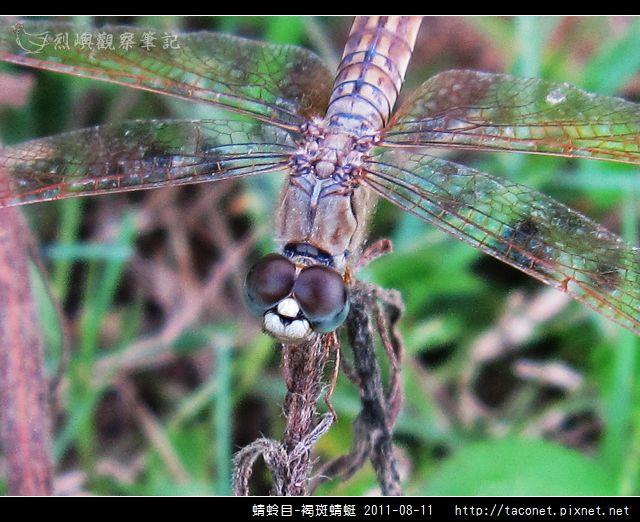 蜻蛉目-褐斑蜻蜓_03.jpg