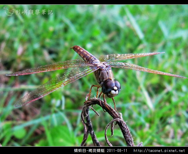 蜻蛉目-褐斑蜻蜓_04.jpg