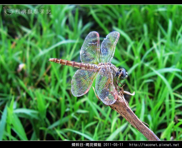 蜻蛉目-褐斑蜻蜓_06.jpg