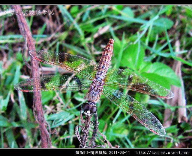 蜻蛉目-褐斑蜻蜓_05.jpg