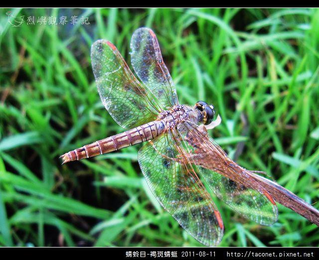 蜻蛉目-褐斑蜻蜓_07.jpg