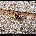 鞘翅目-八星虎甲蟲_01.jpg
