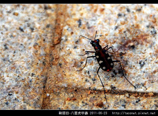 鞘翅目-八星虎甲蟲_02.jpg