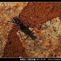 鞘翅目-八星虎甲蟲_03.jpg