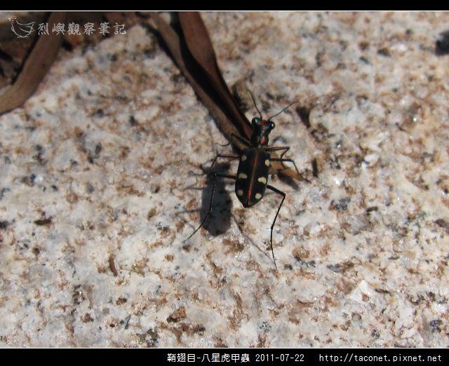 鞘翅目-八星虎甲蟲_05.jpg