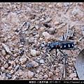 鞘翅目-八星虎甲蟲_07.jpg