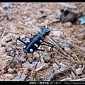 鞘翅目-八星虎甲蟲_10.jpg