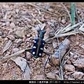鞘翅目-八星虎甲蟲_09.jpg