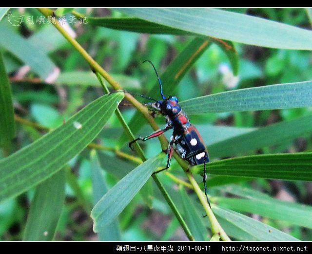 鞘翅目-八星虎甲蟲_11.jpg