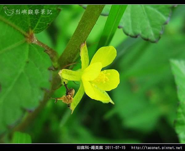 田麻科-繩黃麻_04.jpg