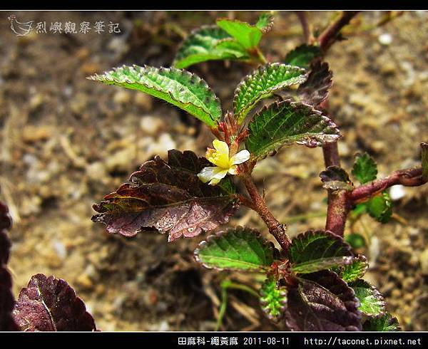 田麻科-繩黃麻_06.jpg