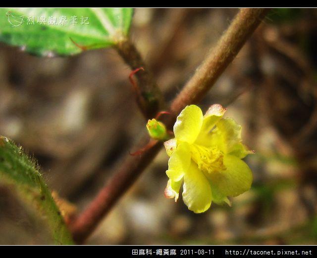 田麻科-繩黃麻_05.jpg