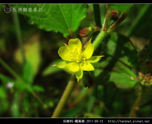 田麻科-繩黃麻_07.jpg
