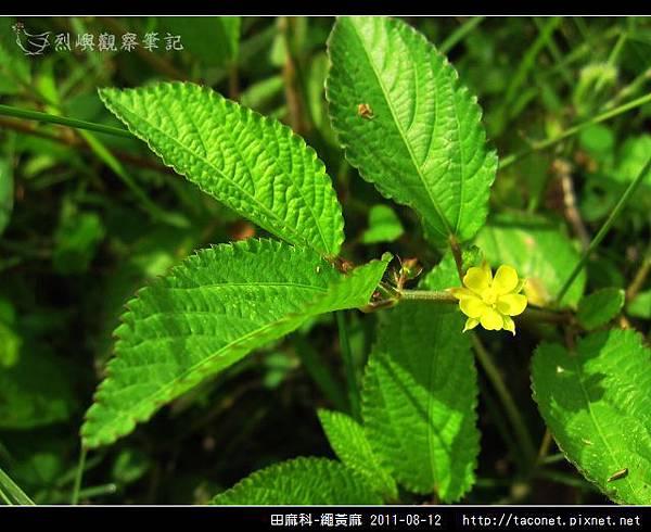 田麻科-繩黃麻_08.jpg